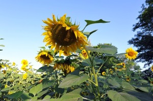 sunflowers-489039_640